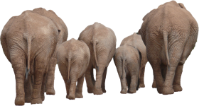 Elephant Group PNG