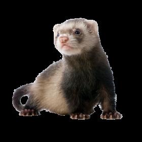 Ferret Standing PNG