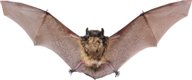 Flying Bat PNG