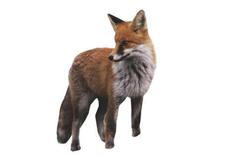 Fox Standing PNG