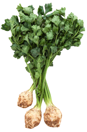 Fresh Celery Root with Leaves PNG