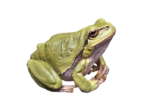 Frog Green PNG