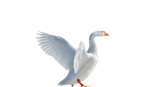 Goose Flying PNG