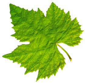 Grape Vine Leaf PNG