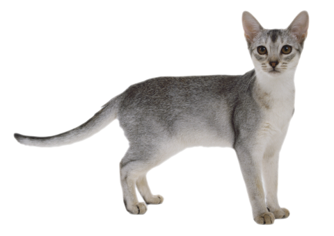 Gray Cat PNG