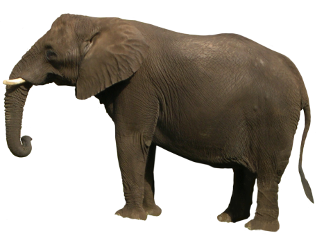 Gray Elephant Standing PNG
