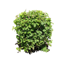 Green Bush PNG