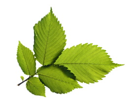 Green Leafs PNG