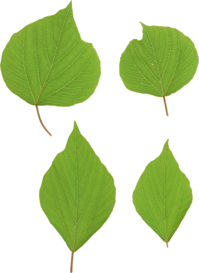 Green leaves PNG