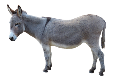 Grey Donkey Standing PNG