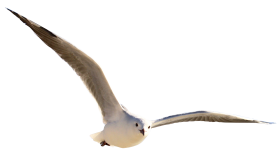 Gull Bird PNG