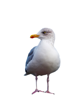 Gull Standing PNG
