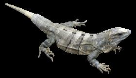 Iguana PNG