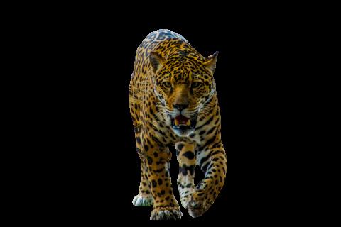 Jaguar Walking PNG