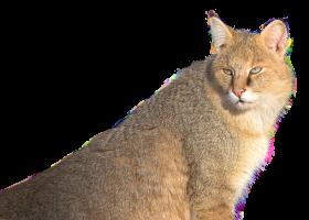 Jungle Cat PNG