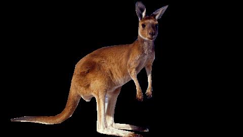 Kangaroo Standing PNG