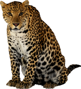Leopard Sitting PNG