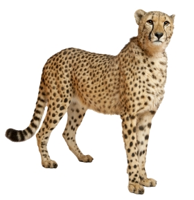 Leopard Standing PNG