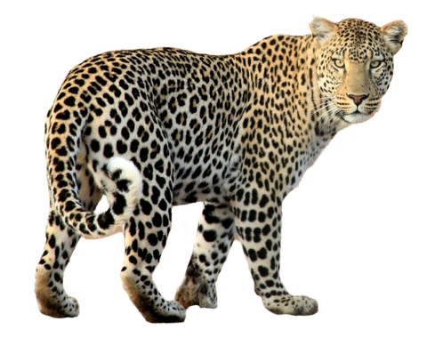 Leopard Walking PNG