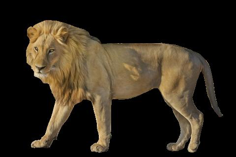 Lion Wildcat  Standing PNG