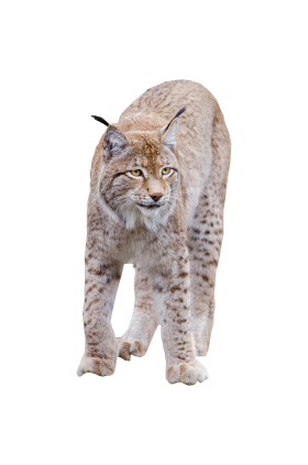 Lynx Standing PNG