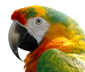 Macaw PNG
