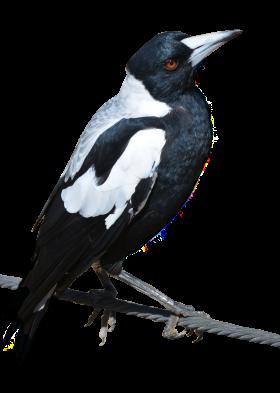Magpie Bird PNG