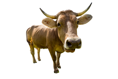 Male Cow Standing PNG