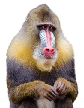Mandrill Monkey PNG