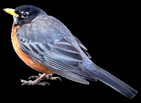 Merle Bird PNG