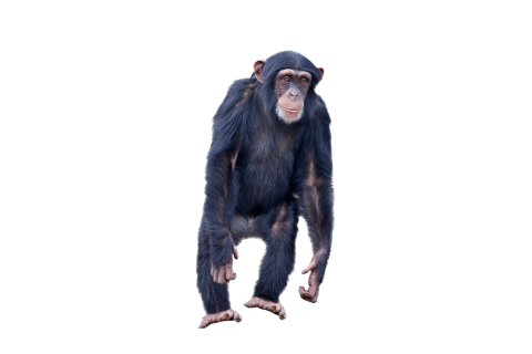 Monkey Standing PNG