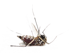Mosquito PNG