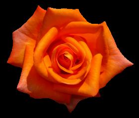 Orange Rose Flower Top View PNG