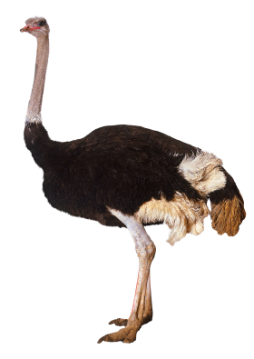 Ostrich Standing PNG