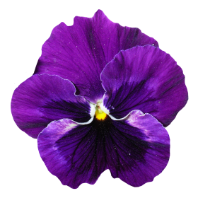 Pansy Flower PNG