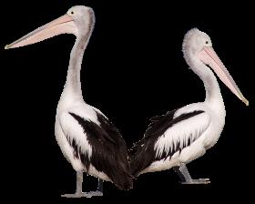 Pelican Birds PNG