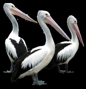 Pelicans Birds PNG