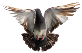 Pigeon Flying PNG