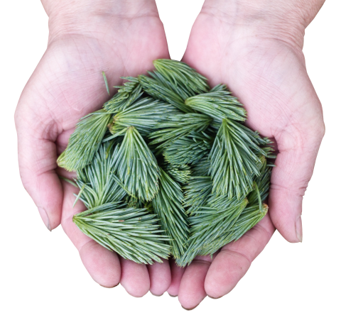 Pine Leaf PNG