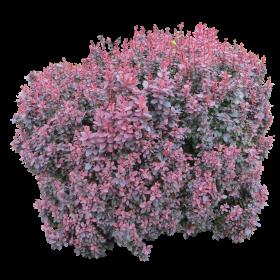 Pink Bush PNG