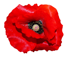 Poppy Flower PNG