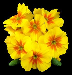 Primrose Flower PNG