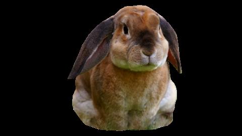 Rabbit Sitting PNG