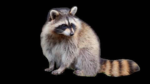 Raccoon Sitting PNG