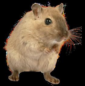 Rat Mouse PNG