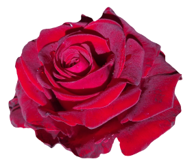 Red Rose Flower PNG