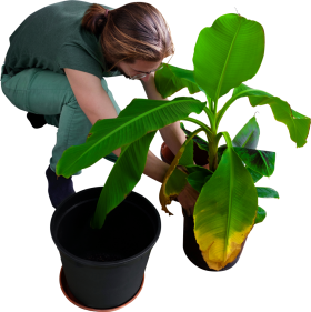 Replanting His Banana Trees PNG