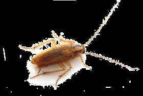 Roach PNG