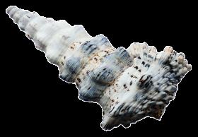 Sea Ocean Shell PNG