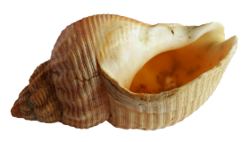 Sea Ocean Shell PNG